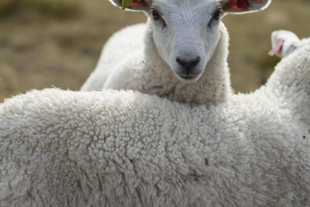 Perchè si dice pura lana vergine?